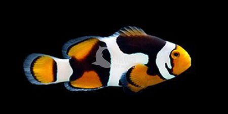 Amphiprion ocellaris onyx hodowlany