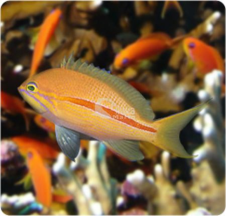 Anthias Fasciatus